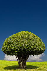 Rounded shrub with small leaves and dense clouds in the sky