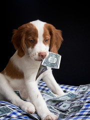 brittany pupy eating money