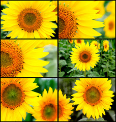 Many images with sunflowers