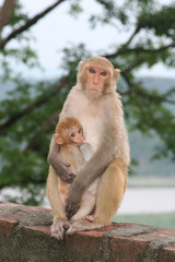 mother and baby monkey in india