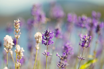 Lavender Flowers in bright day light during summer