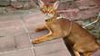 Abyssinian cat.