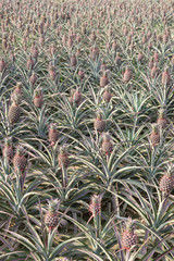 pineapple field