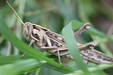 Macro of brown grasshopper perched on leaf.