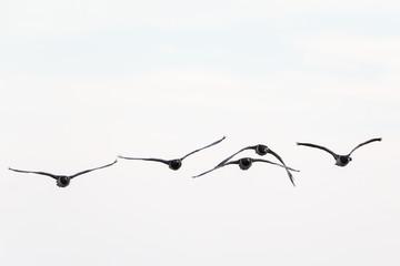 Barnacle goose flying