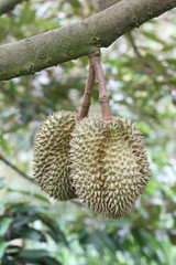 Fresh durians on the trees.