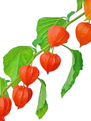 Branch of Chinese Lantern fruits