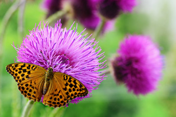 Butterfly  on purple wildflower
