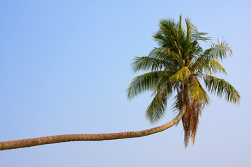 Coconut palm tree , Thailand