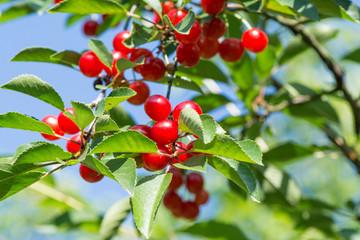 Cerises sur la branche du cerisier dans le verger
