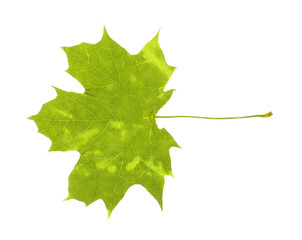 Real maple leaf with spots isolated