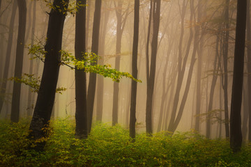 Foggy mystic forest during fall