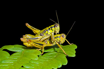 Grasshoppers on leaf 2