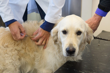 Vaccination for dog