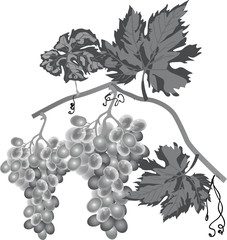 grey grape in leaves isolated on white
