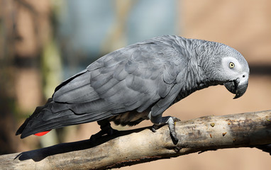 Close-up view of an African grey parrot (Psittacus erithacus)