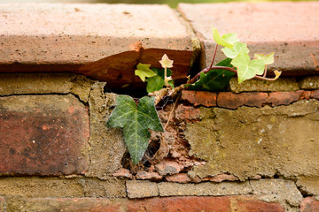 Ivy growing through brick wall