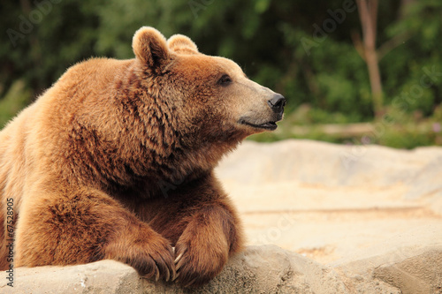 Aluminium Dragen wild brown bear