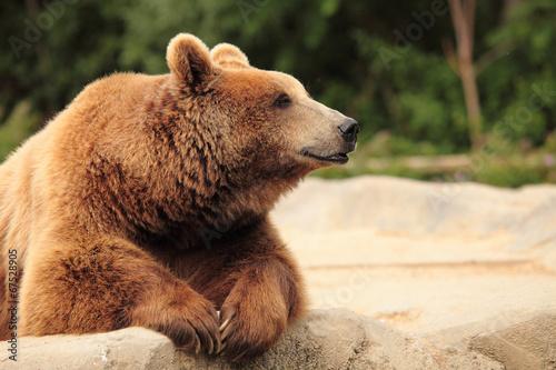 Plexiglas Dragen wild brown bear