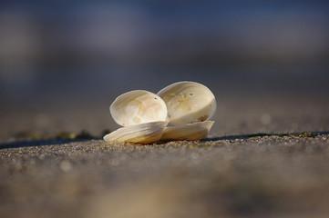 Muschelpaar