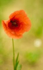poppy soft focus
