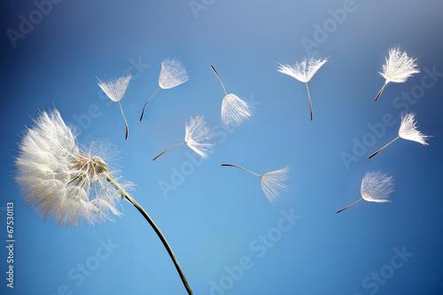 latajace-nasiona-mniszka-lekarskiego-na-niebieskim-tle