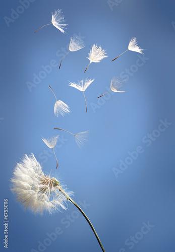 Papiers peints Fleur flying dandelion seeds on a blue background