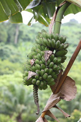 fresh wild bananas fruit.