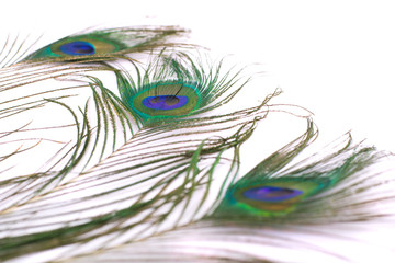 peacock feather isolated on a white background