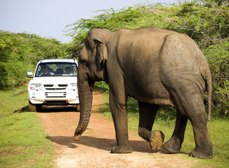 Wild elephant is crosses the way