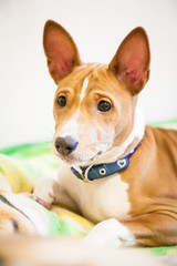 Little Basenji Male Puppy