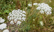White blooming Wild Carrot plants