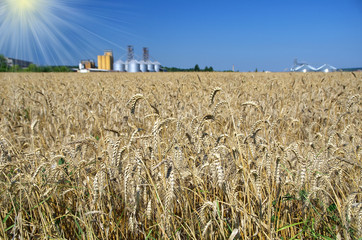 wheatfield in the background blue sky and silos