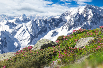 Beautiful flowers with Alps mountains.