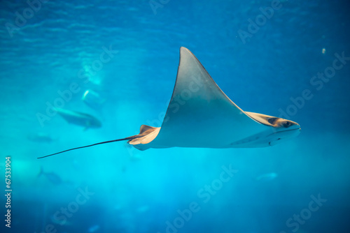 Stingray in blue water - 67533904