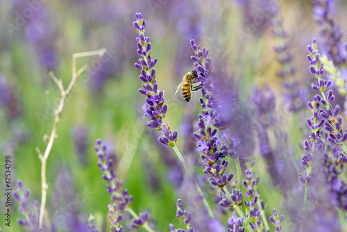 canvas print picture Abeille sur lavande