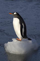 Gentoo penguin which stands on a small ice floe in the shallows