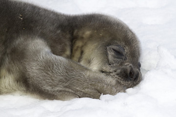 Weddell seal pup lying on snow and holding his paw in his mouth