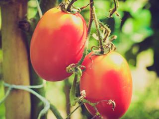 Retro look Tomato