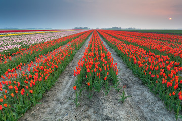 sunset over field of orange tulips