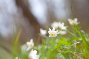 snowdrop anemone flower in forest