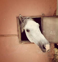 Curious white horse looking out stable window