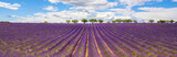 Panoramic view of Lavender field - 67537193