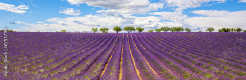 Panoramic view of Lavender field