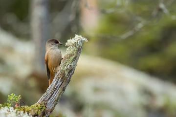 Siberian jay bird on tree stump