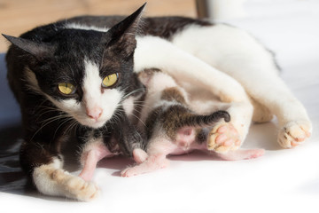 Cat nursing her kittens.The cat feeds a kittens