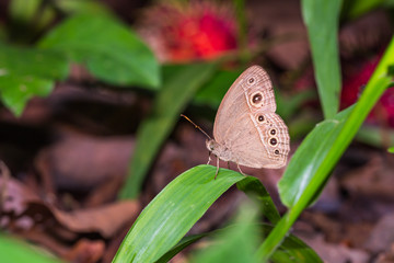 Burmese Bushbrown butterfly