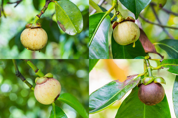 Mangosteen fruit collection