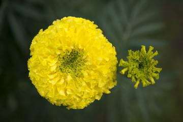 Marigold close up.