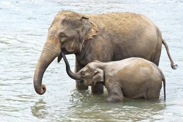 Asian Elephants taking a bath, Sri Lanka